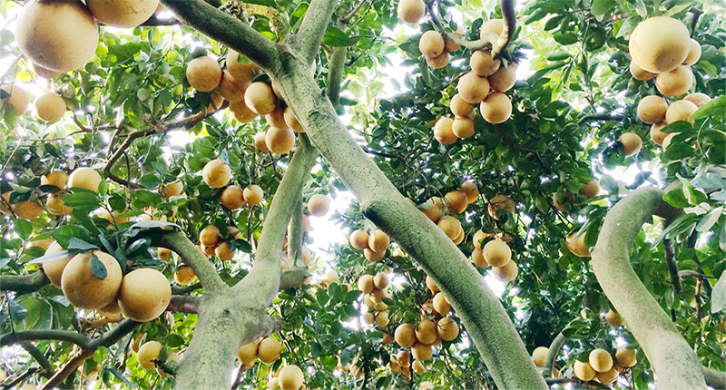 Grapefruit tree happy food